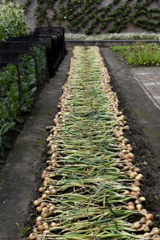 Onion harvest in the vegetable garden